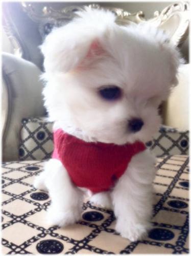 *~* BABYDOLL SNOW WHITE MALTESE BABY 1 LEFT !!! *~*