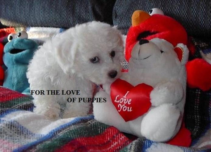 FOR THE LOVE OF PUPPIES     BICHON FRISE     for sale in
