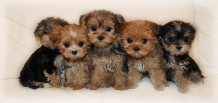 look tiny tiny morkie angels yorkie x maltese for sale