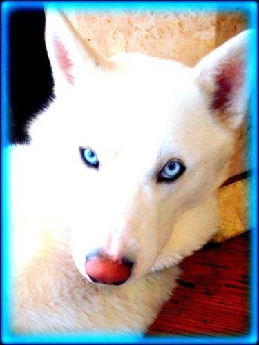 White Siberian Husky Puppies Rare Snow White Pure S...
