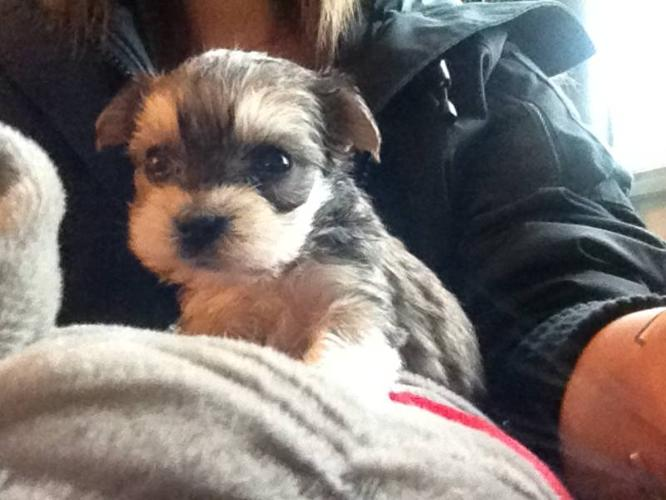 TEACUP - TOY SIZE MORKIE PUPS 2 BOYS 1 GIRLS $450-$550