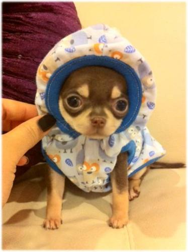TINY TEACUP CHOCOLATE AKC CHIHUAHUA BABY BOY *¨¨*?*¨¨* for