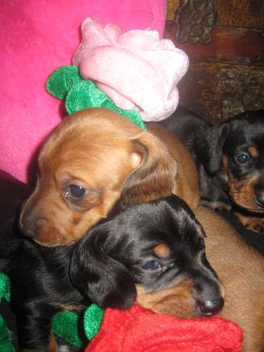 * weiner dogs * dachshund * born Xmas day ready Valentine's