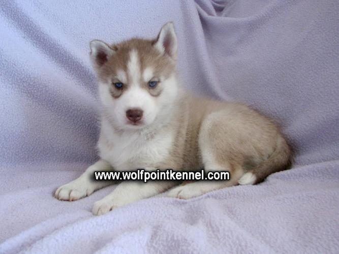 1 CKC Siberian Husky Puppy left for sale in Cobourg, Ontario