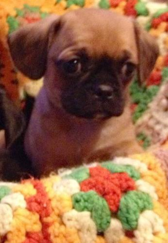 1 Male Cavalier King Charles X Pug Pup Left!