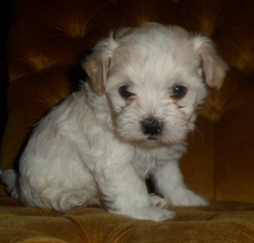 1 Male puppy available on Feb 4th. White/red, non-shedding