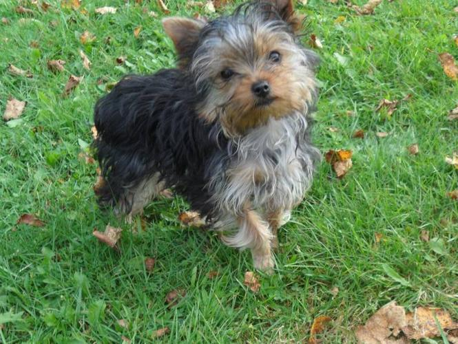 17 week old female Yorkshire Terrier Puppy Ready to Go