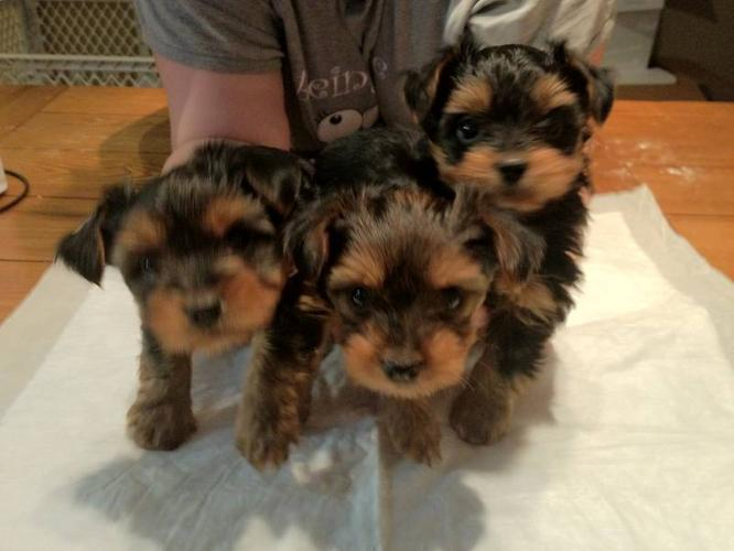 2 Adorable Yorkie Puppies Left - $600 OBO for sale in Niagara Falls