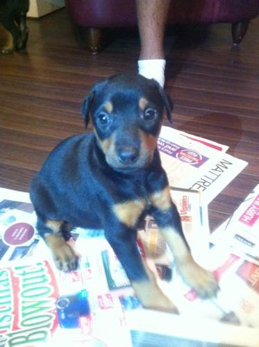 2 FEMALE DOBERMAN PUPPIES FOR SALE
