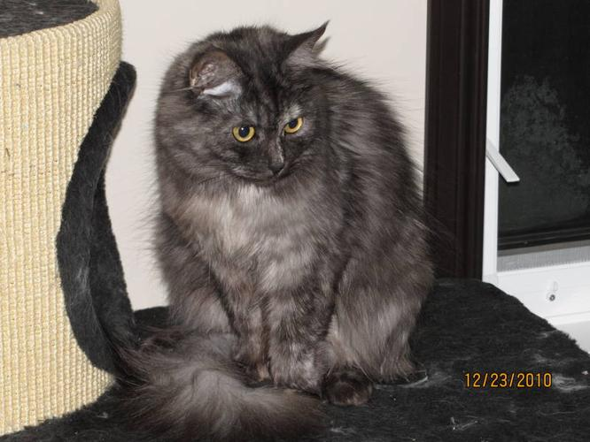 2 Hypo-Allergenic Siberian Forest Cats - Purebred (Couple)