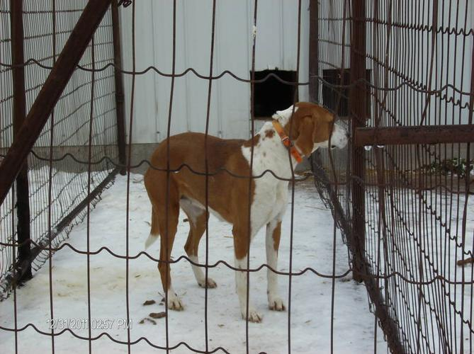 2 RUNNING WALKER COYOTE HOUNDS 5 YEAR OLDS for sale in Stirling