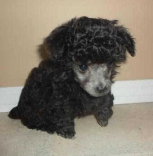 2 SILVER FEMALE TEACUP SIZE TOY POODLES