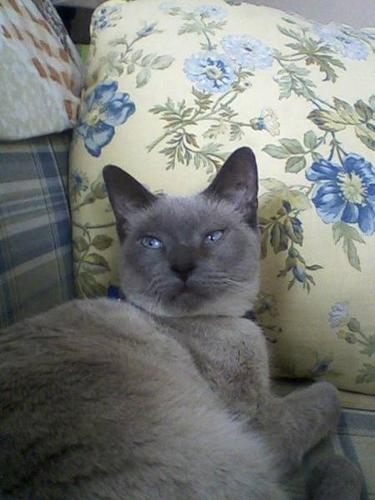 2 yr old Siamese blue point female