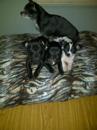 3 MONTH OLD CHIHUAHUA PUPPIES :: $350!!