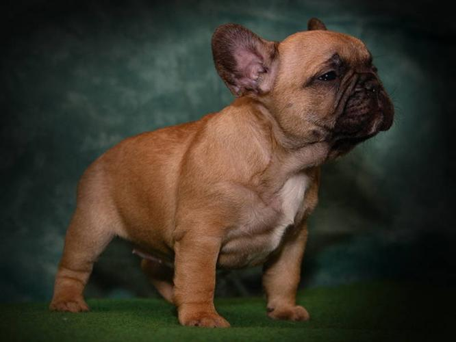 3 Reg'd Stunning Red Black Mask French Bulldog Pups for sale in