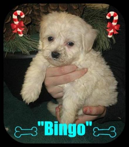 Maltese 1/4 Chihuahua Puppies for sale in Calgary, Alberta
