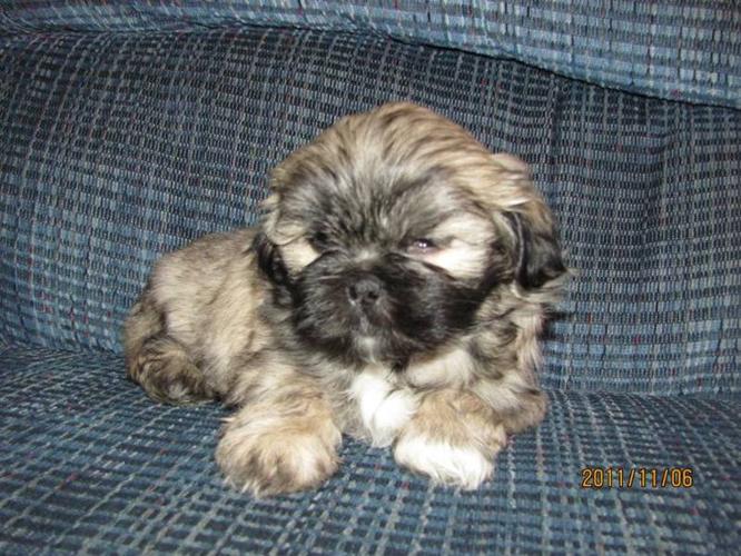 4 Beautiful Bichon Shih-Tzu Puppies for sale in Red Deer