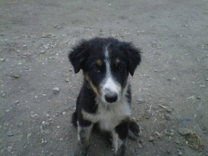 5 Border Collies For Sale For Sale In Mcauley Manitoba Nice Pets