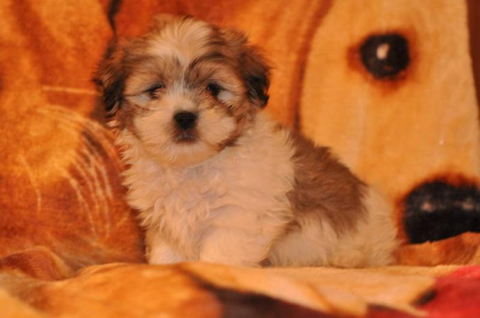 5 SHIH TZU X MALTESE PUPPIES 9 WEEKS OLD for sale in