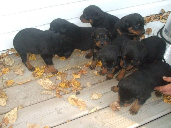 8 Rottweiler Puppies For Sale For Sale In Ponoka Alberta Nice