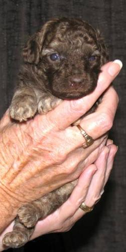 Absolutely Gorgeous Tiny Toy Poodle Puppies For Sale In