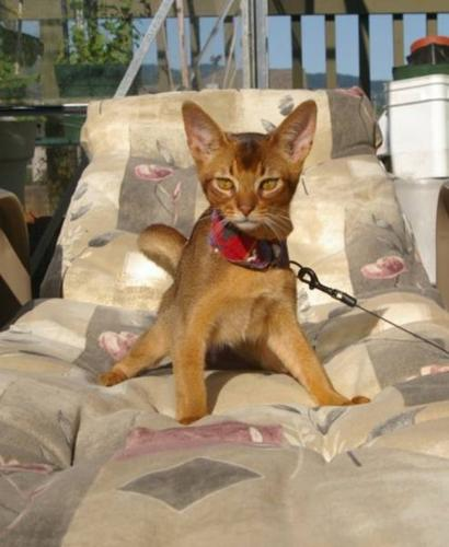 Abyssinian Cat Available