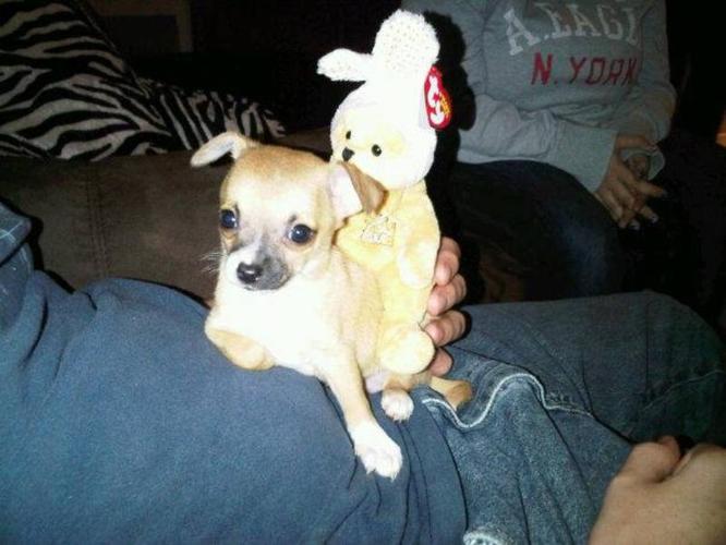 Adorable Chihuahua Puppies!!