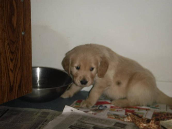Adorable Golden Retriever Puppies!!! Ready Soon  for sale in Timmins