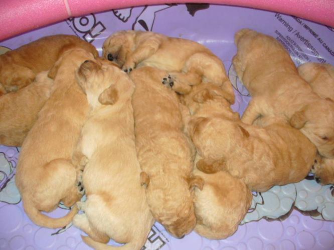 ADORABLE GOLDENEDOODLE PUPPIES