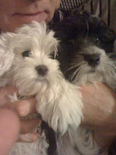 Adorable Havanese Puppies!