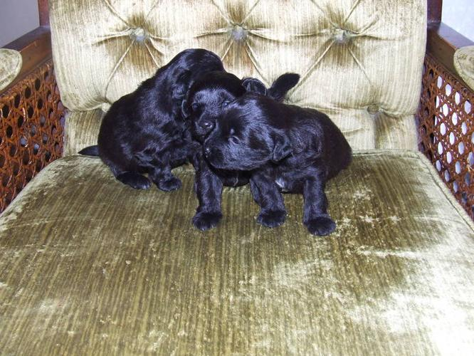 ADORABLE POMAPOO PUPPIES @@@ for sale in London, Ontario - Nice pets