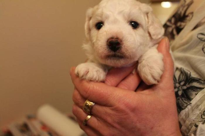 Adorable Pure Bred Bichon Frise Puppies for Sale