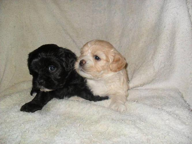 Adorable Shih Poo Puppies For Sale In Bancroft Ontario Nice Pets