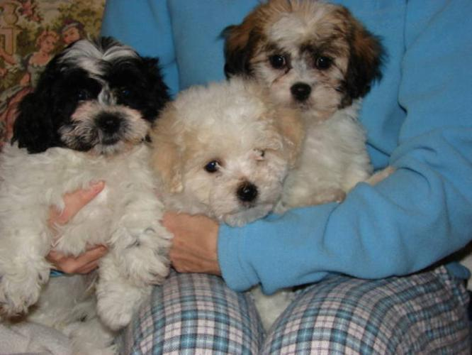 Adorable Shih Tzu X Bichon Frise Puppies For Sale In Grimsby