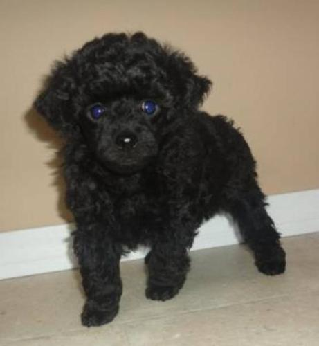 ADORABLE TINYTOY AND TEACUP SIZE TOY POODLES