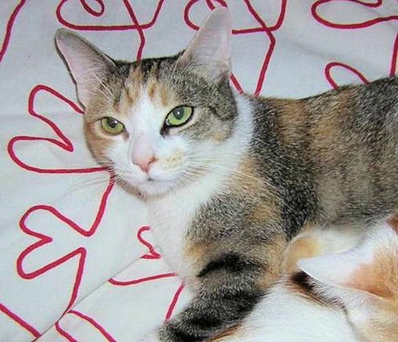Adult Female Cat - Calico: