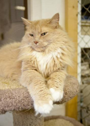 Adult Female Cat - Domestic Long Hair - buff and white: