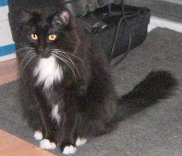 Adult Female Cat - Domestic Medium Hair-black and white: