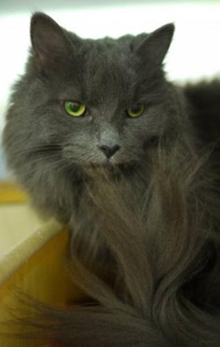 Adult Female Cat - Domestic Medium Hair: