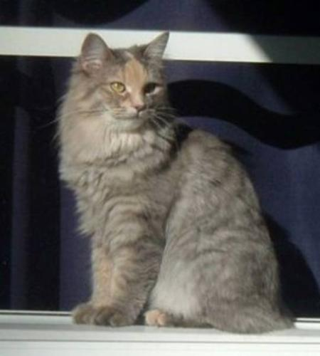 Adult Female Cat - Domestic Medium Hair-gray: