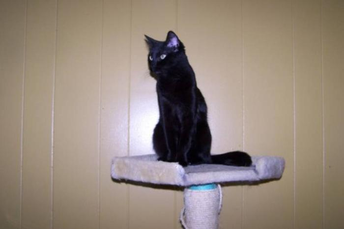Adult Female Cat - Domestic Short Hair-black: