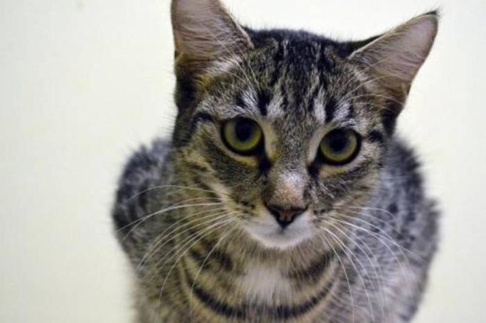 Adult Female Cat - Domestic Short Hair - brown Tabby: