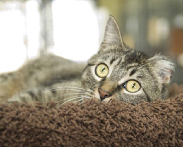 Adult Female Cat - Tabby - Brown: