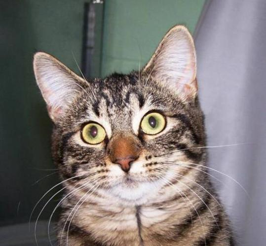 Adult Female Cat - Tiger Domestic Short Hair: