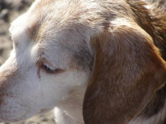 Adult Female Dog - Beagle: