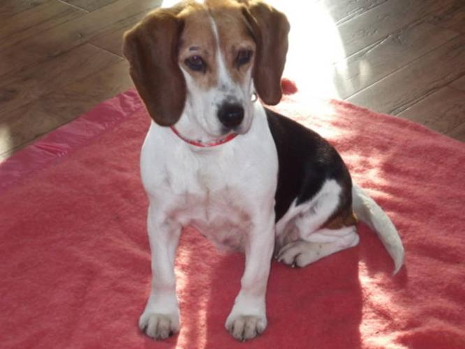 Adult Female Dog - Beagle: