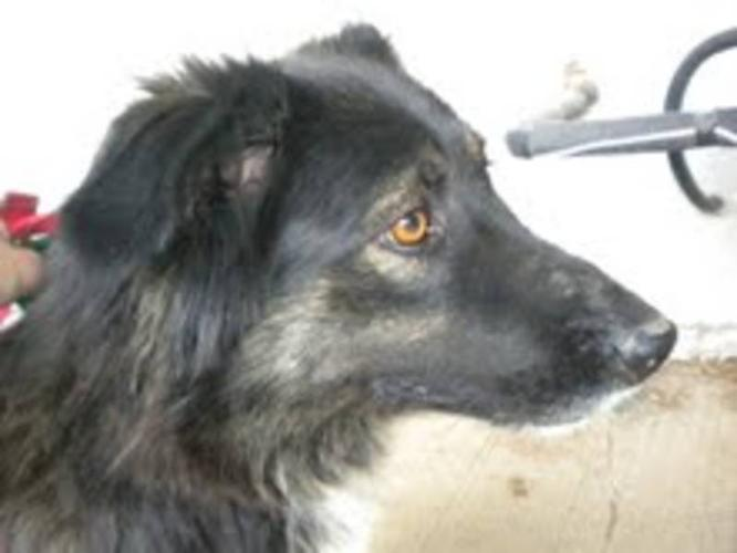 Adult Female Dog - Border Collie:
