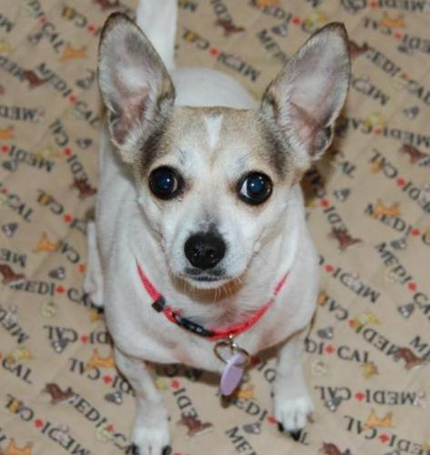 Adult Female Dog - Chihuahua: