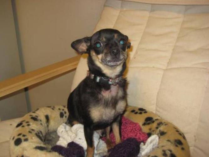 Adult Female Dog - Chihuahua: