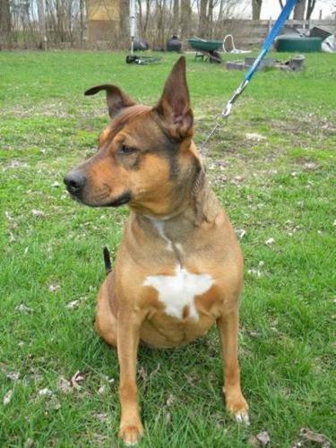 "Adult Female Dog - Doberman Pinscher Shepherd: ""Holly"" for ..."